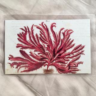 アッシュペーフランス(H.P.FRANCE)のJohn Derian ジョンデリアン ポストカード  赤い海藻(切手/官製はがき)