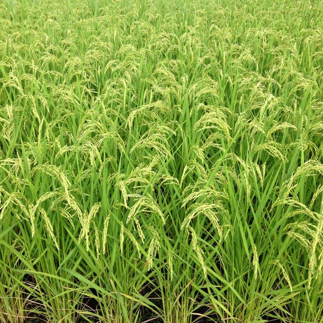 栃木県産 農家直送 コシヒカリ10kg 食品/飲料/酒の食品(米/穀物)の商品写真