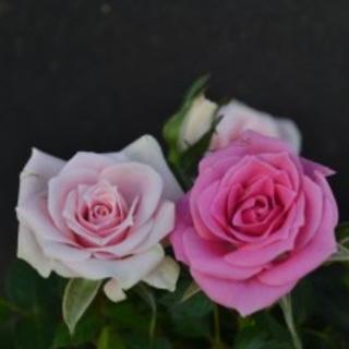 四季咲きミニバラ2色咲きピンクマリーナコルダーナの根付き苗(その他)