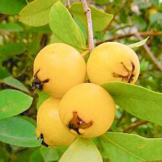 極耐寒性イエローストロベリーグァバ 苗木(フルーツ)