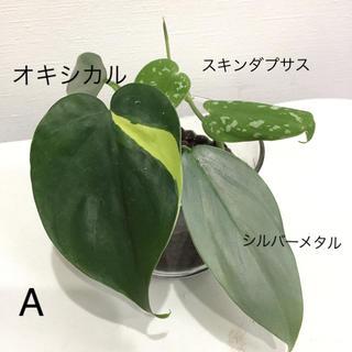 レア 3種類 セット A テーブル観葉植物 スキンダプサス (その他)