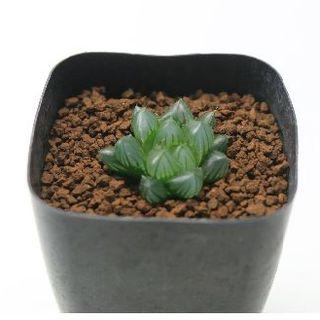 r220多肉植物 ハオルチア ブラックオブツーサ(その他)