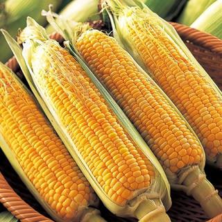 愛知県産 とうもろこし 10本【栽培期間中農薬、化成肥料不使用】※訳あり
