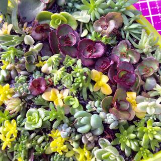 ゆか様専用❣️多肉植物セダムカット苗80+50本、ネルソル10g、白いちご苗(その他)