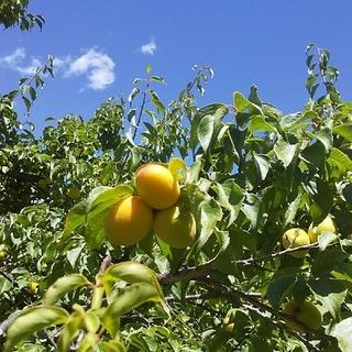 梅の実3.2kg、「梅酒、梅干し、梅シロップ、梅ジャム」