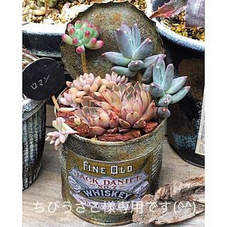多肉植物リメイク缶鉢寄せ植えにどうぞ(^^)ちびうさこ様専用です(^^)(その他)