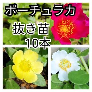 ポーチュラカの抜き苗10本☆カラフルで可愛い多肉植物(その他)