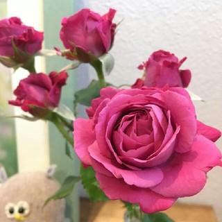 四季咲き中輪バラ濃いピンク(赤紫色っぽい)モンテクリステラの根付き苗(残り1株)(その他)