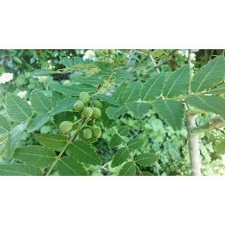 無農薬 山椒の実と葉(野菜)