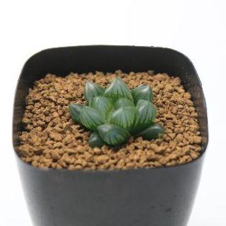 r229多肉植物 ハオルチア ブラック オブツーサ(その他)