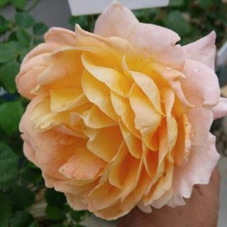 専用ページ❗入手困難な薔薇❤『クィーンネフェルティティ』『チョーサー』❤挿し木苗(その他)