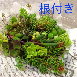 多肉植物 セダム   根付き苗(その他)