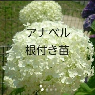 紫陽花 アジサイ アナベル 根付き苗 抜き苗(その他)
