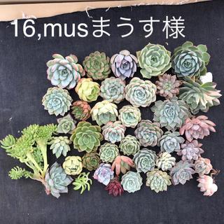 16,musまうす様専用 多肉植物(その他)