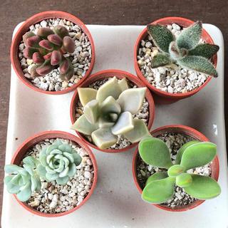 多肉植物^o^  カット苗5種セットb'+斑入ベビーサンローズetc.