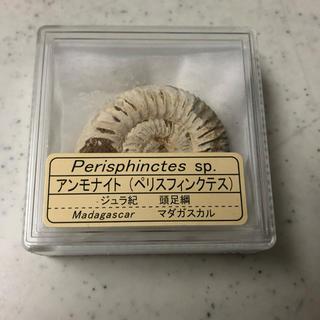 アンモナイト 化石