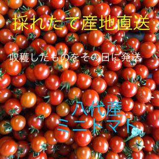熊本県八代産ミニトマト6キロ