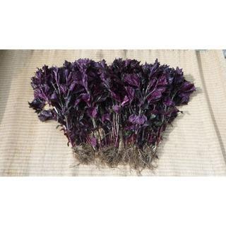 岩手盛岡産 赤しそ(根付き) 2キロ  赤紫蘇 赤シソ(野菜)