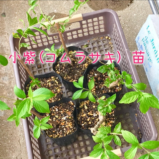 小紫(コムラサキ)   抜き苗 1株(その他)