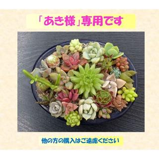 多肉植物 【0131】  カラフル「センペル&ハオ&一般の多肉」 26+4種セッ(その他)