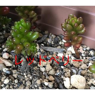 ★★レッドベリー★抜き苗★多肉植物★★(その他)