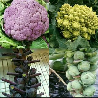 イタリア野菜の種 6~7月蒔き 時間のかかる野菜4種(野菜)