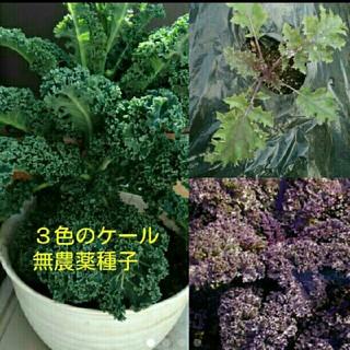 プランターで出来るスーパーフード 3種類のケールの種子ミックス50粒(野菜)