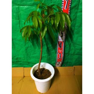 黒葉&玉荷苞レイシ 2品種セット 取木苗 計2本(その他)