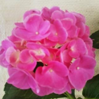 あじさい  カステリン来年開花用10、5cm来年開花用苗(その他)