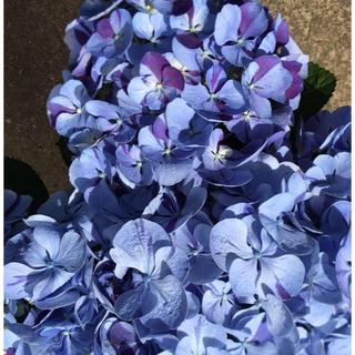 ピンク色 数量限定 1500円 紫陽花 挿し木苗 根付き苗 紫陽花の苗 根付き苗(その他)