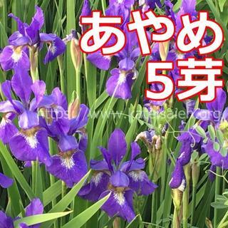 ■あやめ 苗 5芽 草花 山野草 紫色 多年草 ♪(その他)