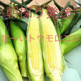 あまーい朝どりトウモロコシ  特別価格  14.15日収穫発送分(野菜)