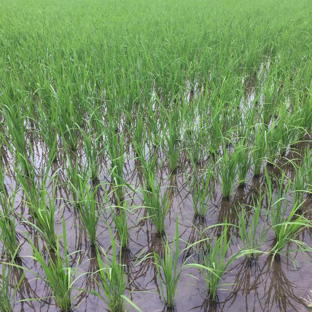 平成30年 長野県産 天日干しコシヒカリ精米10kg 食品/飲料/酒の食品(米/穀物)の商品写真