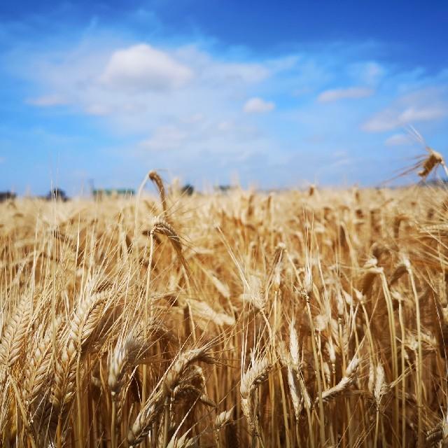もち麦「キラリモチ」精白麦500グラム入り*岡山県生産農家直送* 食品/飲料/酒の食品(米/穀物)の商品写真