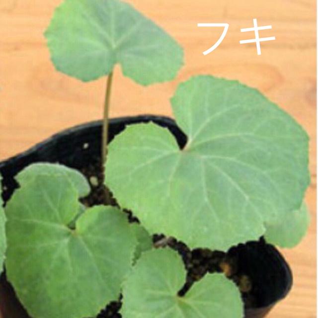 フキ ツワ 三つ葉 韮苗 食品/飲料/酒の食品(野菜)の商品写真