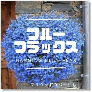 【ブルーフラックス】種子15粒 ハンギングに!グラウンドカバーに!(その他)