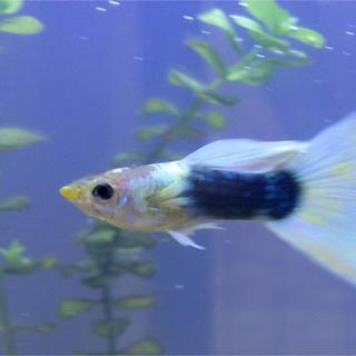 ムジルシリョウヒン(MUJI (無印良品))の国産ドイツ イエロータキシード グッピー 1ペア+今だけ幼魚1匹+ブレンド餌(その他)