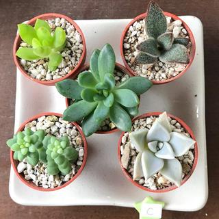 多肉植物^o^  カット苗5種セットc`セダムetc.
