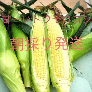 甘ーいトウモロコシ 17.18日収穫発送分(野菜)