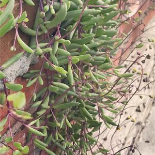 セネシオ ルビーネックレス 紫月 多肉植物 カット苗 挿し木(その他)