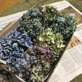 秋色紫陽花のドライフラワー(ドライフラワー)
