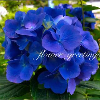 紫陽花 ブルー カット苗 2本 濃いブルー (その他)