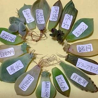 多肉植物  葉挿し 15種類(その他)