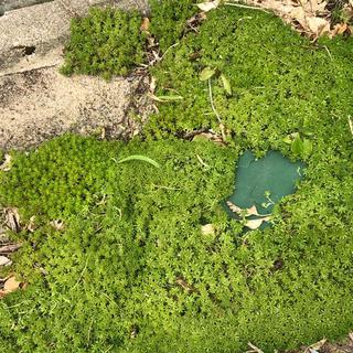 緑の絨毯(*ˊ˘ˋ*)。♪:*°モリムラグリーン☆抜き苗(その他)