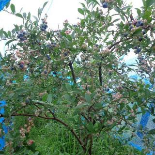 ちょび様専用 無農薬ブルーベリーと夏野菜家庭菜園からのお届け物(フルーツ)