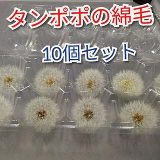 タンポポ綿毛のドライフラワー(10個セット)(ドライフラワー)