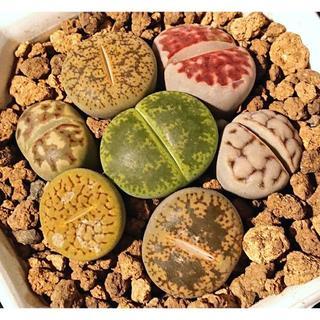 多肉植物 リトープスMIX ※鉢付き (送料込)(その他)
