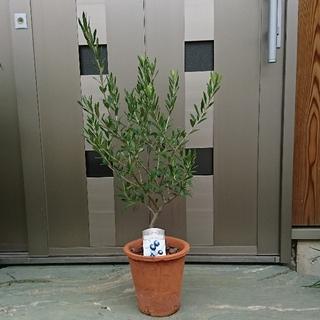 タナ様専用 オリーブ鉢植えブラウン  品種エルグレコ(その他)