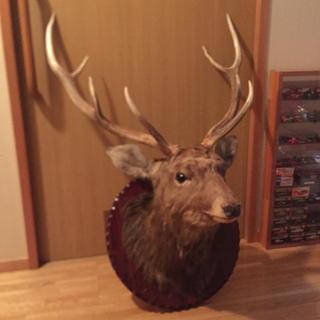 鹿の剥製  ハンティングトロフィー  壁掛け用