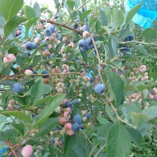 無農薬ブルーベリーと夏野菜家庭菜園からのお届け物(フルーツ)